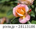 薔薇 バラ バラ科の写真 28113186