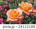 薔薇 バラ バラ科の写真 28113188