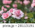薔薇 バラ バラ科の写真 28113191