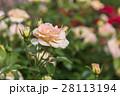 薔薇 バラ バラ科の写真 28113194