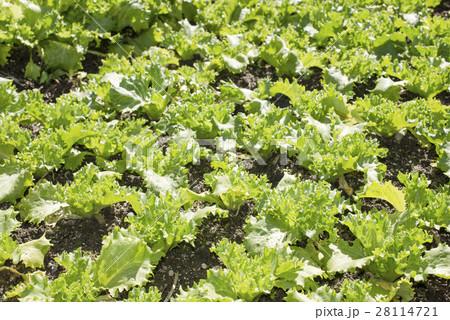 畑の若いレタス 28114721