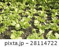 畑の若いレタス 28114722
