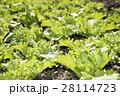 畑の若いレタスのアップ 28114723
