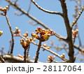 青空に桃色になって来たカワヅザクラの蕾 28117064