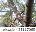 青空に桃色になって来たカワヅザクラの蕾 28117065