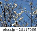青空に綺麗に咲いた白い梅 28117066
