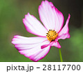 花 フラワー お花の写真 28117700