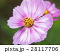 菊 キク 菊の花の写真 28117706