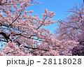 青空と満開の桜 28118028