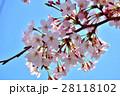 青空と満開の桜 28118102
