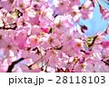 青空と満開の桜 28118103
