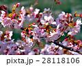 青空と満開の桜 28118106