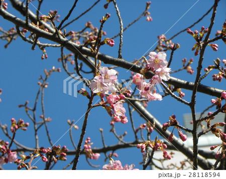 稲毛海岸駅前のカワヅザクラが咲き始めました 28118594