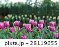 フラワー 花 チューリップの写真 28119655