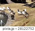 稲毛海浜公園に飛来したオナガガモ 28122752