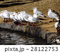 稲毛海浜公園に飛来したユリカモメ 28122753