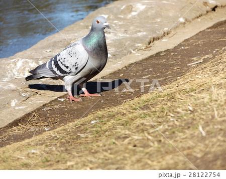 稲毛海浜公園の池に来たハト 28122754