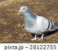 稲毛海浜公園の池に来たハト 28122755