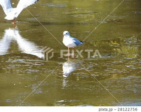 稲毛海浜公園の凍った池にに立つユリカモメ 28122756
