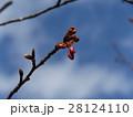 一月の青空に桃色のカワヅザクラの蕾 28124110