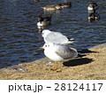 稲毛海浜公園に飛来したユリカモメ 28124117