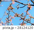 二月の青空に開花したカワヅザクラ 28124120