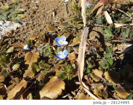 早い春に咲く野草の小花オオイヌノフグリ 28124995