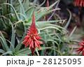 花 アロエ 観葉植物の写真 28125095