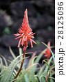 花 アロエ 観葉植物の写真 28125096