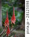 花 アロエ 観葉植物の写真 28125098