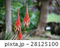 花 アロエ 観葉植物の写真 28125100