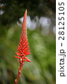 アロエの花 28125105