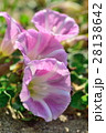 浜昼顔 花 開花の写真 28138642