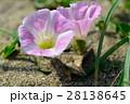 浜昼顔 花 開花の写真 28138645