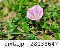 浜昼顔 花 開花の写真 28138647