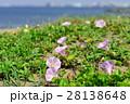 浜昼顔 花 開花の写真 28138648