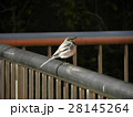 柵の上の里の野鳥ハクセキレイ 28145264