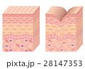 しわ 皮膚 構造のイラスト 28147353