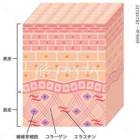 皮膚の構造 断面図 28149135