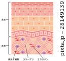 皮膚 構造 断面図のイラスト 28149139