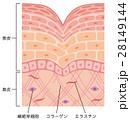 しわ 皮膚 構造のイラスト 28149144