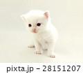 可愛い白い子猫 28151207