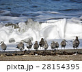 ミユビシギ 波 野鳥の写真 28154395