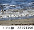 ミユビシギと波 28154396