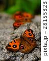 複数のタテハモドキ 28155323