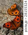 タテハモドキのプロポーズ 28155324