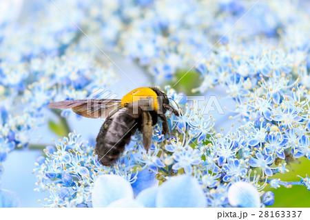 クマバチの蜜集め(アジサイ) 28163337
