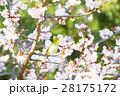 メジロと寒桜 28175172