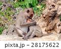 さる サル 猿の写真 28175622