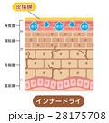 インナードライ肌 肌図 断面図のイラスト 28175708